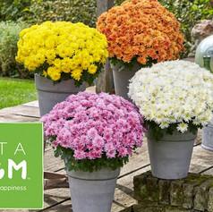 S Chrysanthemum DendranthemaVitamum Home