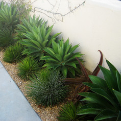 Agave furcerea & aloeSoeil-shrubs-edit.j