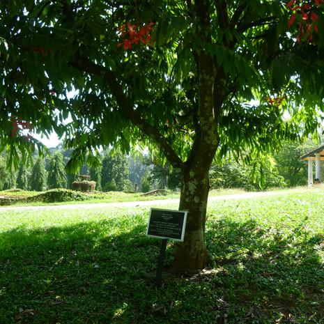 Amherstia nobilis rarePride_of_Burma_(Am