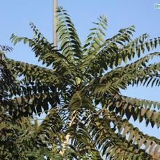 Ailanthus excelsa Peddamanuimg1944_33578