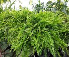 Ferns donedownload.jpg