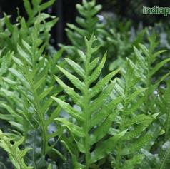 Polypodium species 2img2283_33583314.jpg