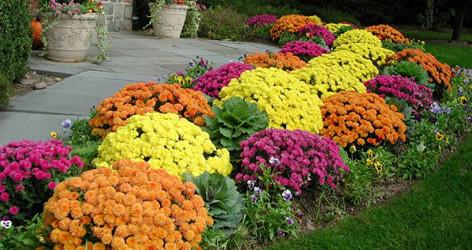 S Chrysanthemum DendranthemaPlanting-Mum