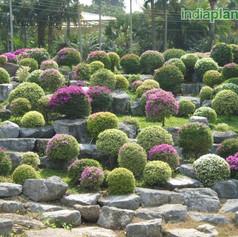 Topiary and bonsaiimg2414_33586935.jpg