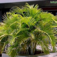 Areca palms_2.jpg