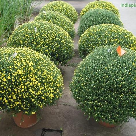 S Chrysanthemum Dendranthemaimg354_33578