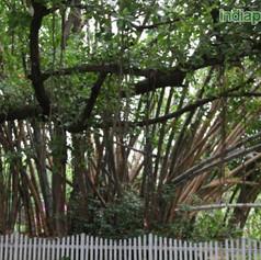 Bambooimg1858_33592528.jpg