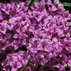 formosa lilacimg1521_33594803.jpg
