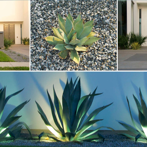 Agave furcerea & aloeSophisticated-Conte