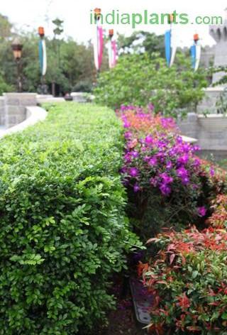 Aglaia odorata Pilli Kaminiimg2293_33582