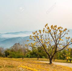 43694250-yellow-silk-cotton-cochlospermu
