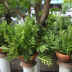 Polypodium species 2img2283_33583311.jpg