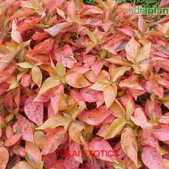 Acalypha wilkesiana rosea dwarfimg961_33