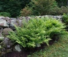 Ferns doneFern-Garden-300x200.jpg