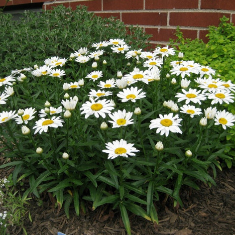 Leucanthemum-x-superbum-Snow-Lady-shasta