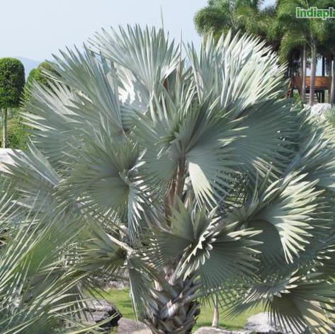 Bismarckia nobilis blue form_9.jpg