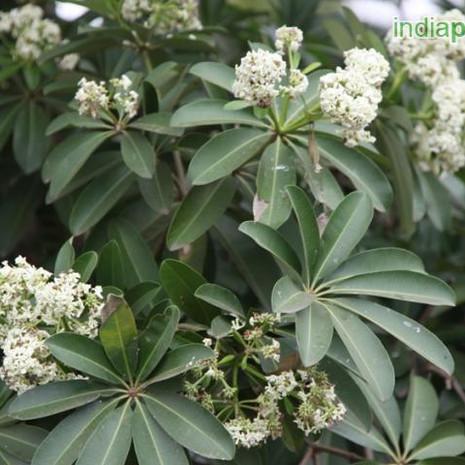 Alstonia fL macrophylla devil treeimg155