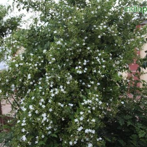 Jasminum auriculatumimg1237_33592613.jpg
