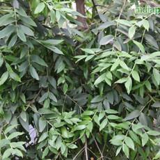 Agathis robusta Queensland Firimg2163_33