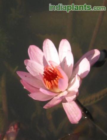 Nymphaea water lilyimg2051_33580318.jpg