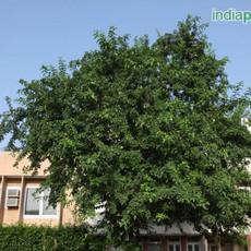 Aegle marmelos bael fruitimg1353_3359591
