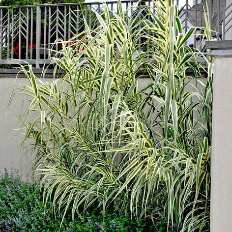 Arundo acquaticgiant-reed-grass-arundo-d
