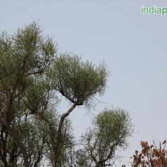 Euphorbia tirucalliimg2306_33588771.jpg