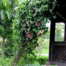 Aristolochia ringens calico badak vel.jp