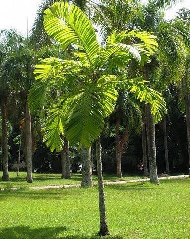 Aiphanes erosa, A. minima, Martinezia er