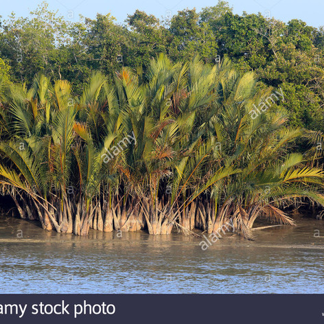 Nipa Palmnypa-fruticans-commonly-known-a