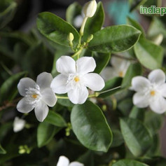 Y Wrightia antidysenterica ceylonimg3310