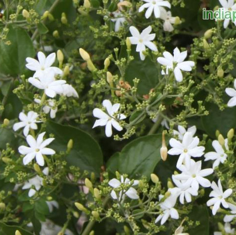 Jasminum auriculatumimg1237_33592612.jpg