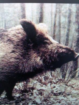Bright Lights, Pig City: Barcelona's Wild Boars
