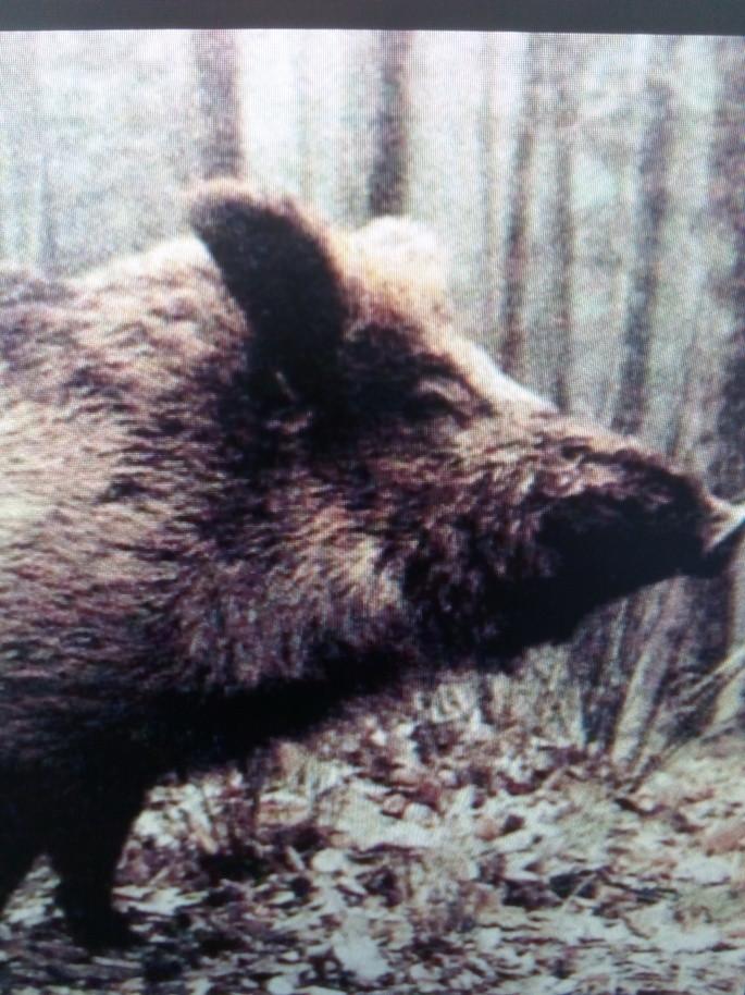Barcelona's Wild Boars