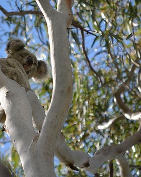 KoalaBear.JPG