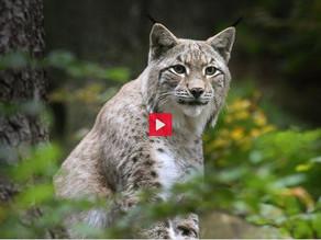 Ein Raubtier schützt den Schweizer Wald
