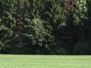 Das Prättigau hat ein massives Problem mit Verbiss im Schutzwald