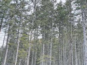 Gross-Steg: Naturnaher Wald anstatt Fichten-Monokulturen
