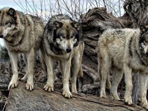 Ursache der wachsenden Wolfspopulation