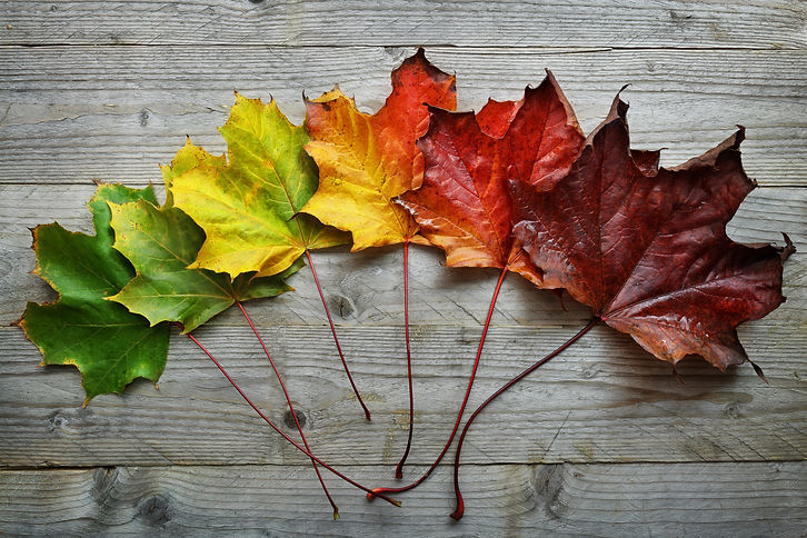 Autumn Maple leaf transition and variati