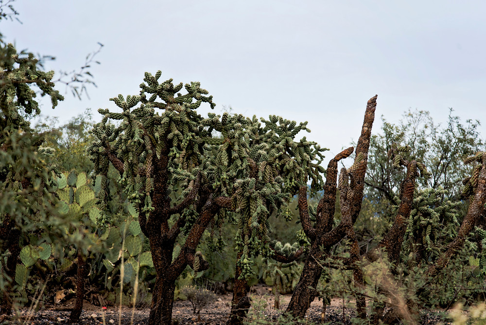 A collection of cactus in the Sonoran Desert.  There are prickly pears, chollas, jumping chollas and more.