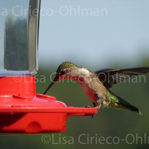 Hummingbird © Lisa Cirieco-Ohlman 2015
