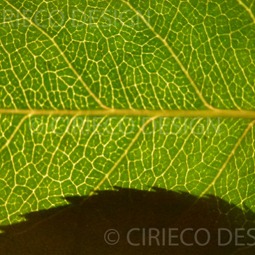 Rose leaf with shadow © Lisa Cirieco-Ohlman 2012