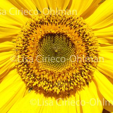 Sunflower © Lisa Cirieco-Ohlman 2006
