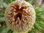 Banksia Begins to open