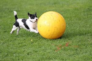 Terrier Ball.jpg