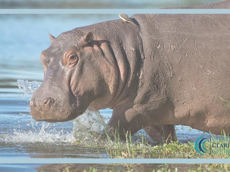 I'm a hippopotamus