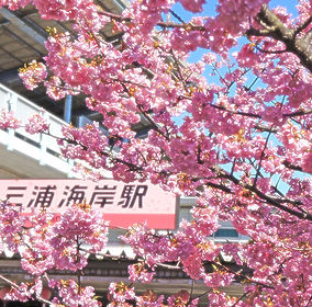 三浦海岸櫻花祭2.jpg