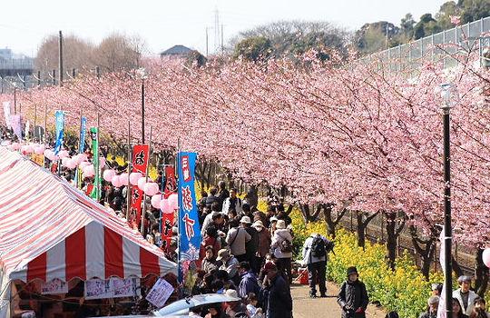 三浦海岸櫻花祭.jpg