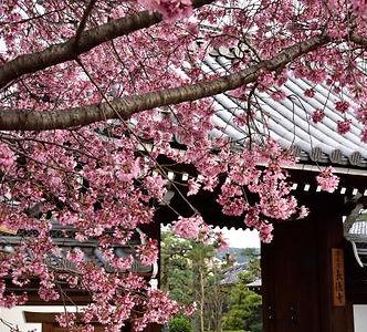 長徳寺 オカメ桜.jpg